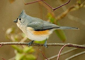 Tufted Titmouse Research 01