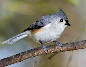 Tufted Titmouse Research 02