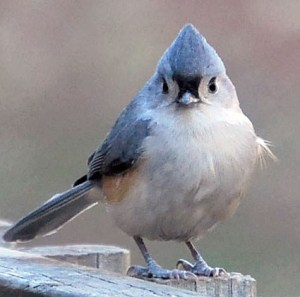 Tufted Titmouse Research 03